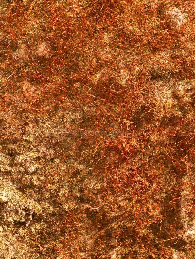 在石墙上的红色地衣在春天 库存照片