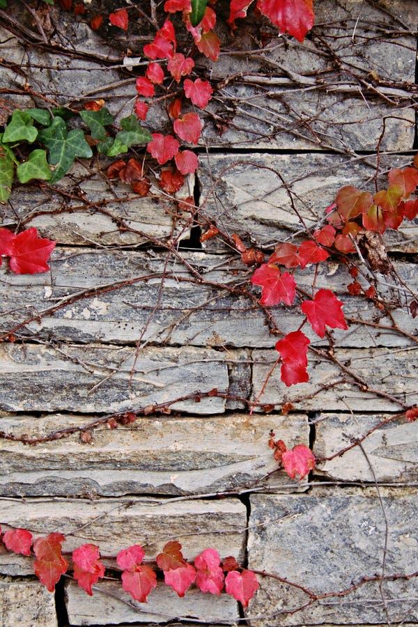 在石墙上的红色常春藤 免版税库存照片