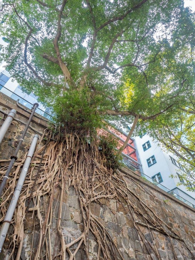 在石墙上的长的树根 免版税库存图片
