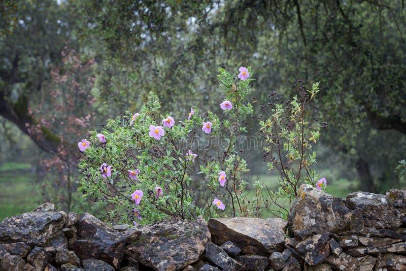 在石墙旁边的自然花 库存图片