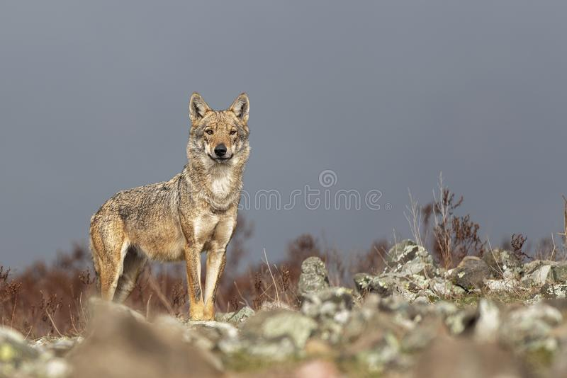 在石头之间的孤独的灰狼 免版税图库摄影