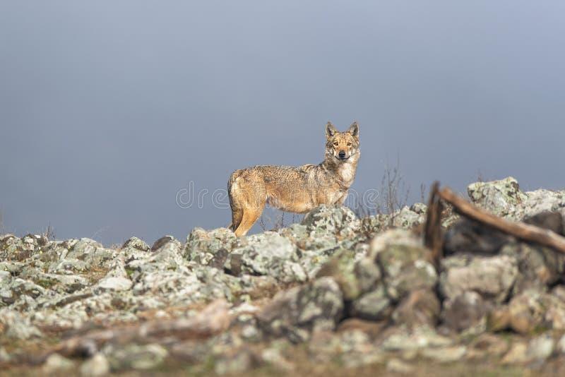 在石头之间的孤独的灰狼 库存图片