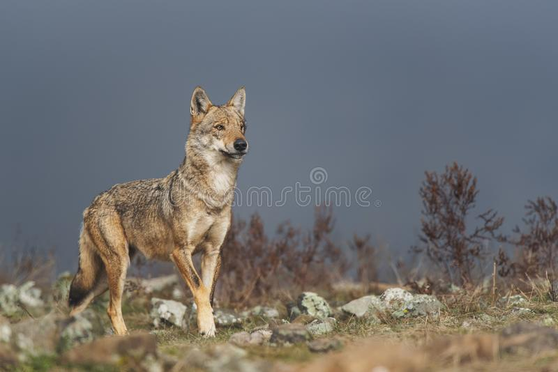 在石头之间的孤独的灰狼 免版税库存照片