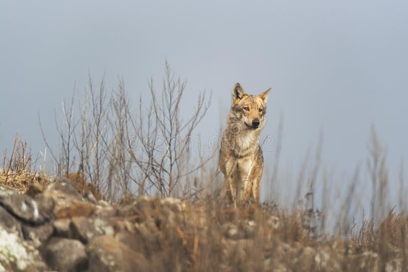 在石头之间的孤独的灰狼 免版税库存图片