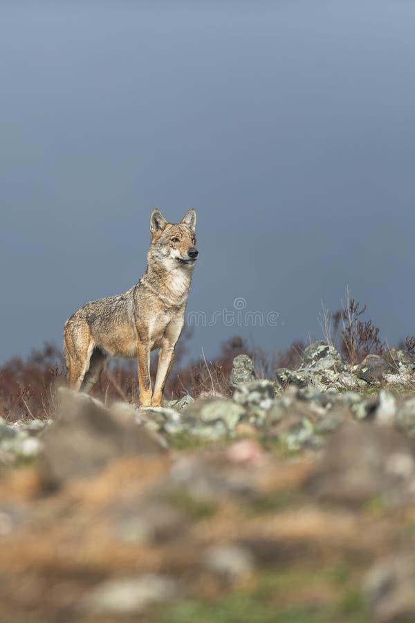 在石头之间的孤独的灰狼 库存照片