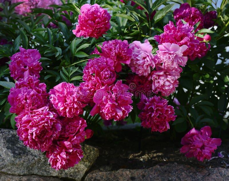 在石头床上的美丽的开花的牡丹  图库摄影