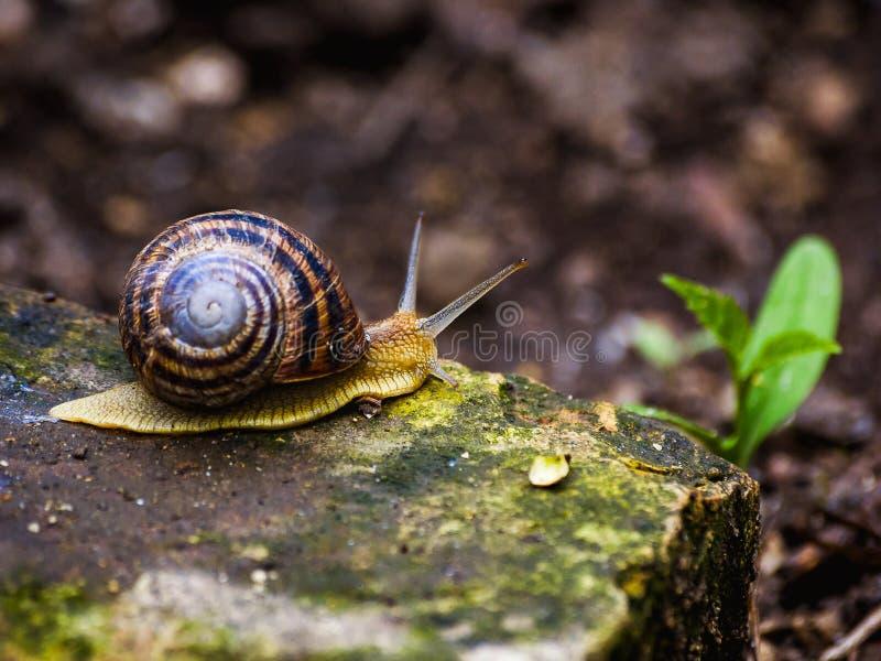 在石头的一只蜗牛 图库摄影