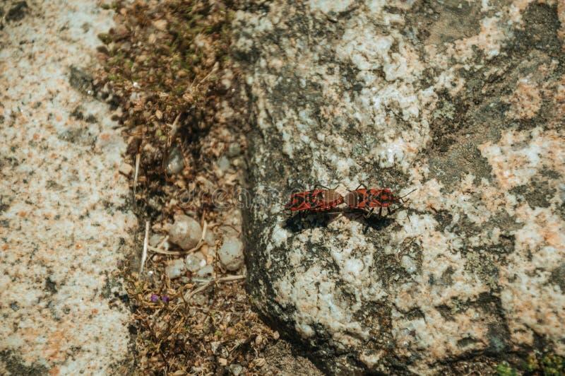 在石头的地中海红色臭虫在孟山都附近 免版税库存图片
