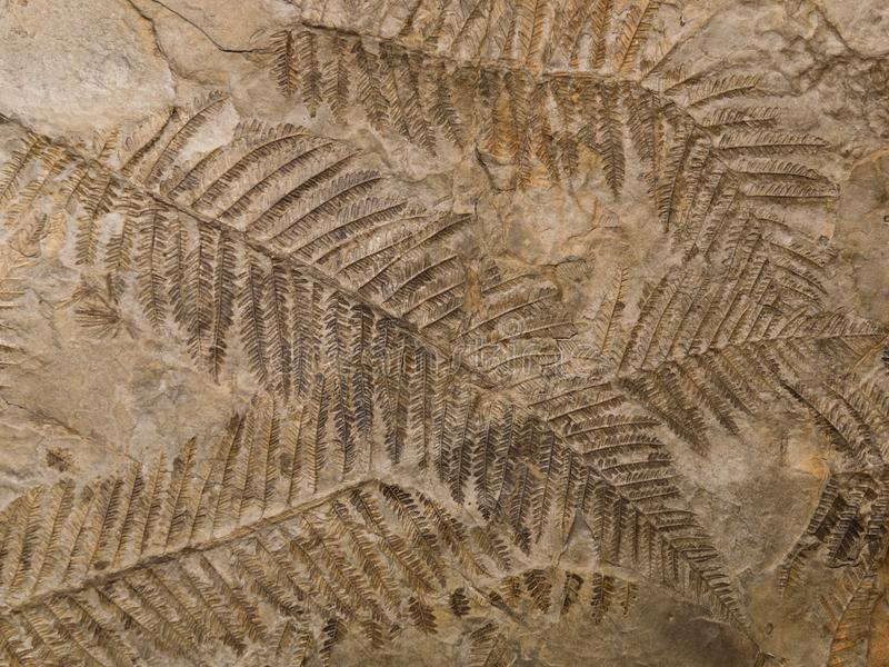 在石头的石化史前蕨叶状体版本记录 库存照片