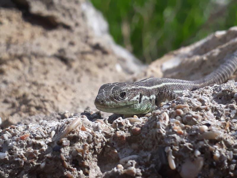 在石头的蜥蜴 库存图片