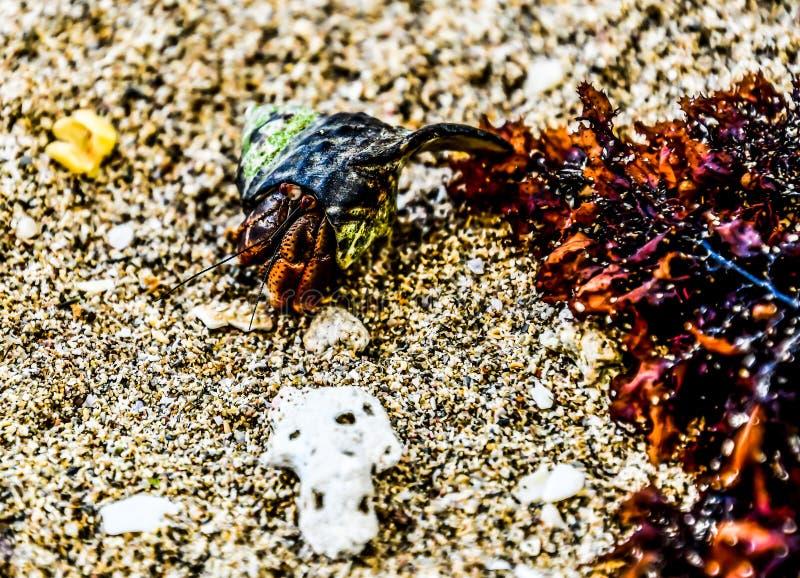 在石头的螃蟹,在哥斯达黎加中美洲 库存照片