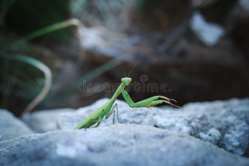 在石头的螳螂观看您 免版税库存照片