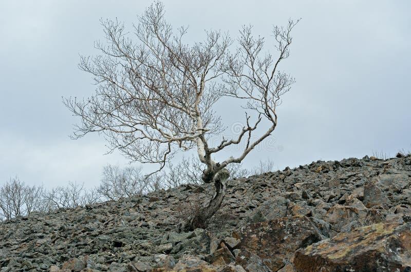 在石头1的桦树 免版税库存照片