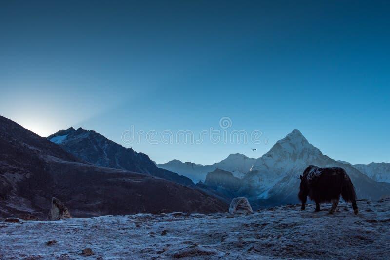 在石山,珠穆琅玛地区,尼泊尔,tra前面的黑牦牛 库存图片