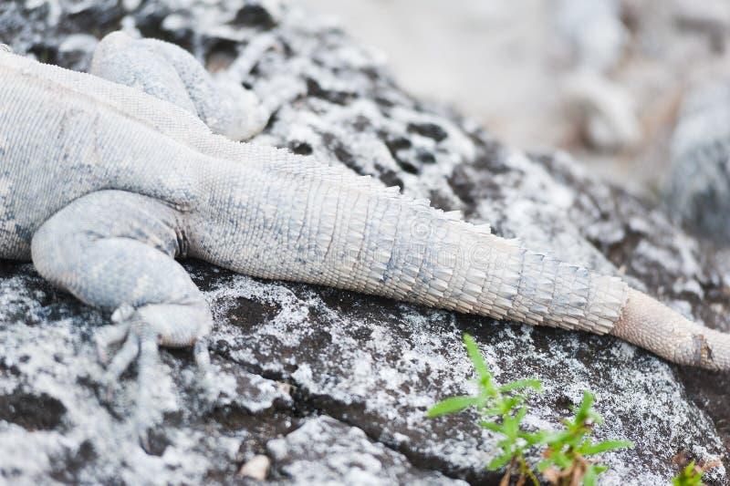在石废墟的墨西哥鬣鳞蜥尾巴 库存照片