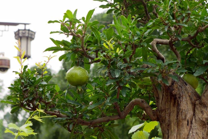 在石榴盆景树的绿色石榴果子 库存图片