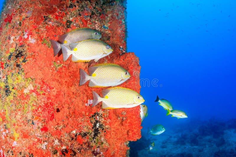 在石油钻塔附近的五颜六色的鱼 免版税库存图片