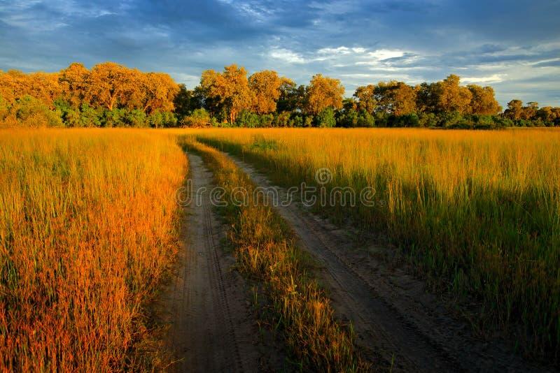 在石渣路的晚上在大草原,Moremi,奥卡万戈三角洲在博茨瓦纳,Afrivca 在非洲自然的日落 与f的金黄草 免版税图库摄影