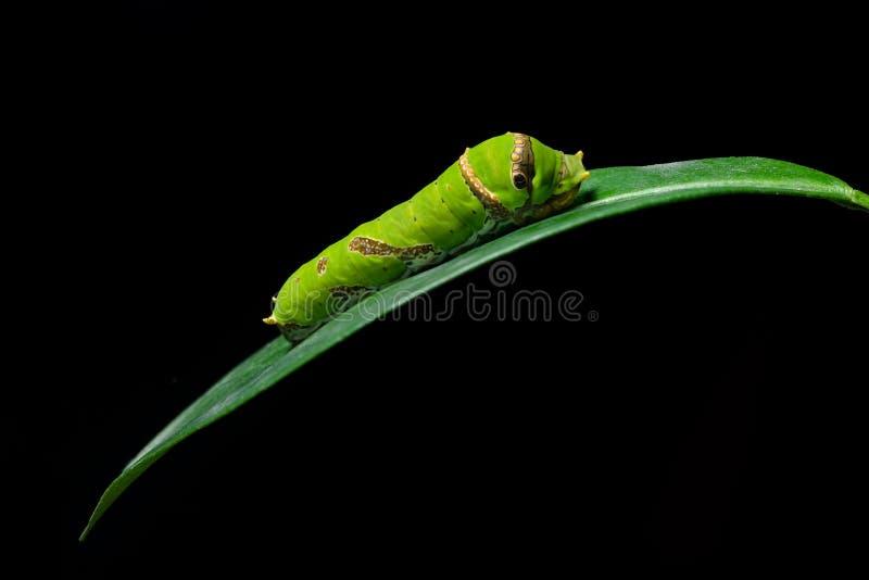 在石灰叶子的石灰Swallowtail蝴蝶幼虫 免版税库存照片