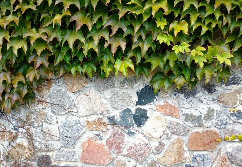 在石篱芭的狂放的葡萄 免版税库存照片