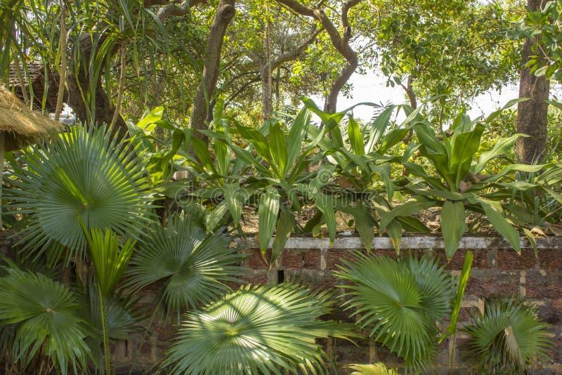 在石篱芭附近的绿色扇形棕榈反对树背景  库存照片