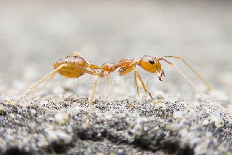 在石背景的特写镜头宏观红色蚂蚁 免版税库存图片