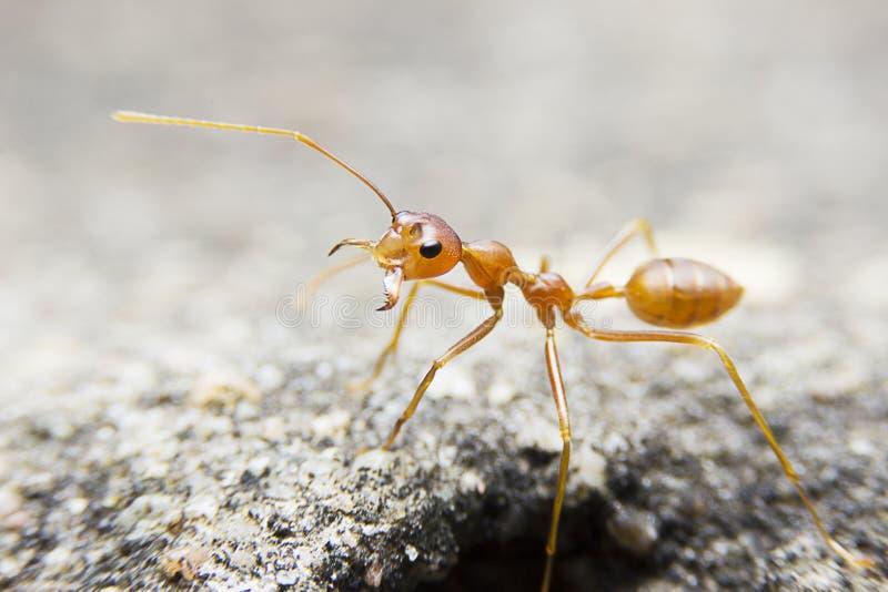 在石背景的特写镜头宏观红色蚂蚁 库存图片