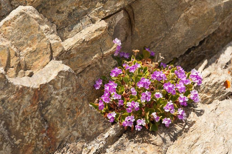 在石背景的高山花 库存图片