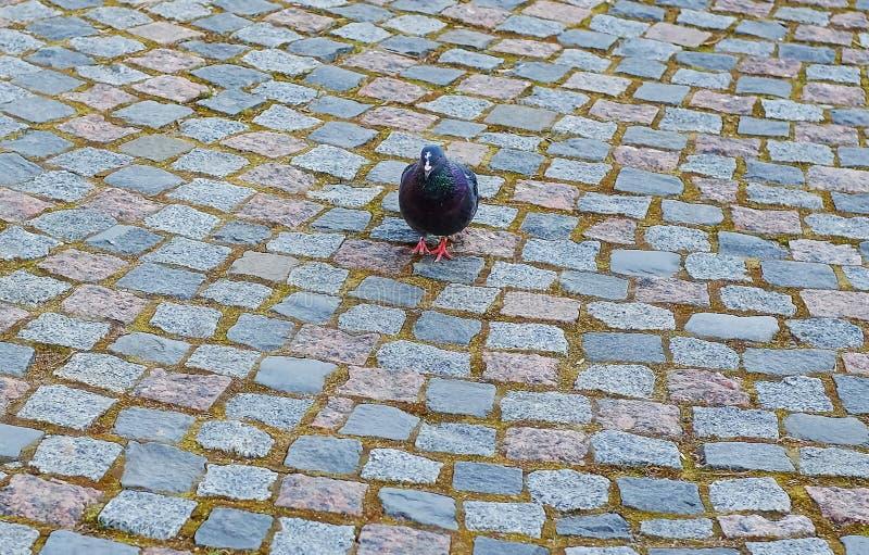 在石路面的城市鸽子 库存图片
