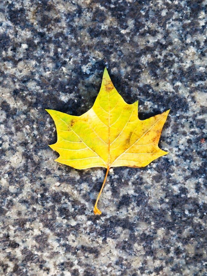 在石路面的黄色枫叶 免版税库存照片