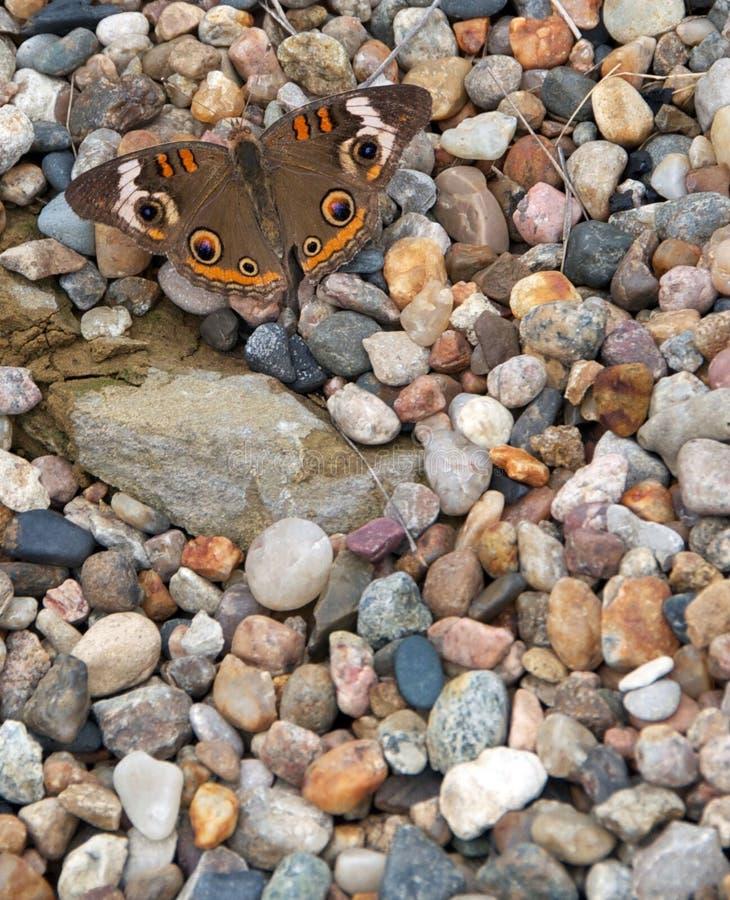 在石头的共同的七叶树蝴蝶 库存图片