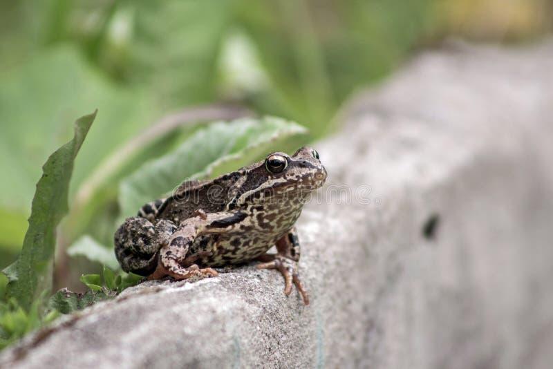 在石头的大青蛙 库存照片