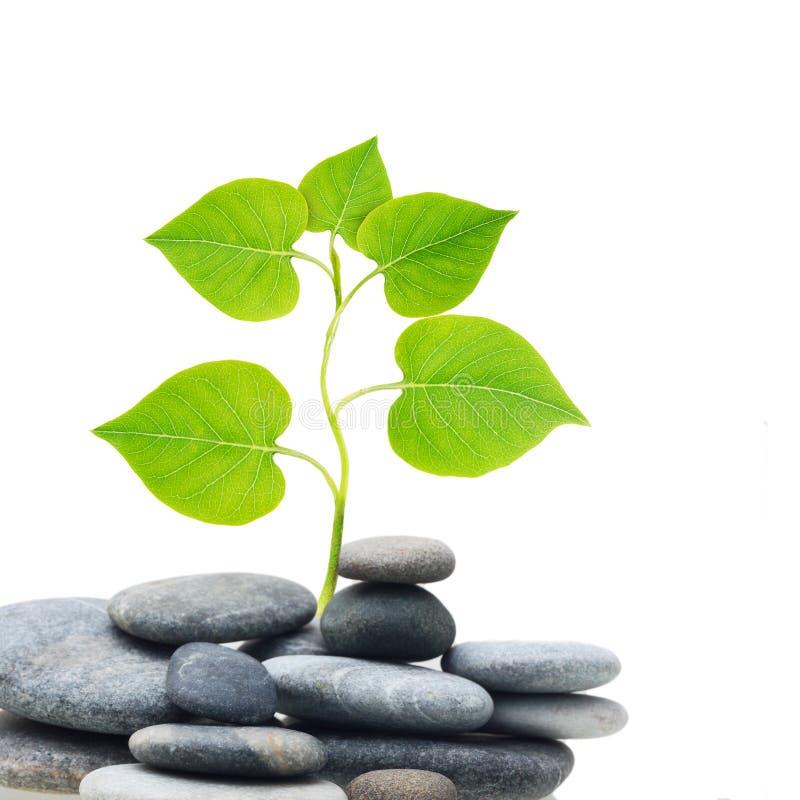 在石头的植物树。 免版税库存照片