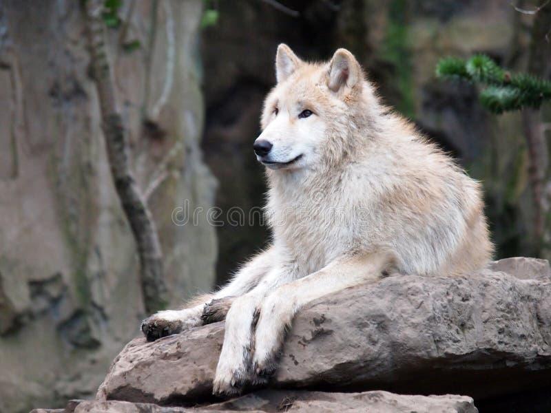在石头的白狼 免版税库存图片