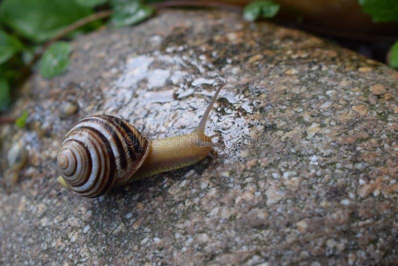 在石头的蜗牛 免版税图库摄影