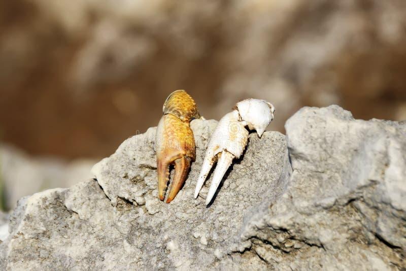在石头的螃蟹爪 库存照片