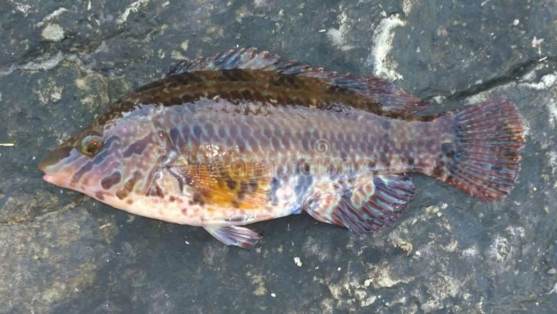在石头的鱼 库存照片