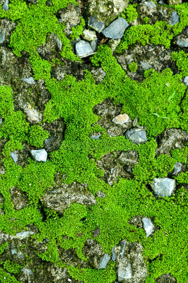 在石头的绿色青苔 生苔岩石背景 库存照片