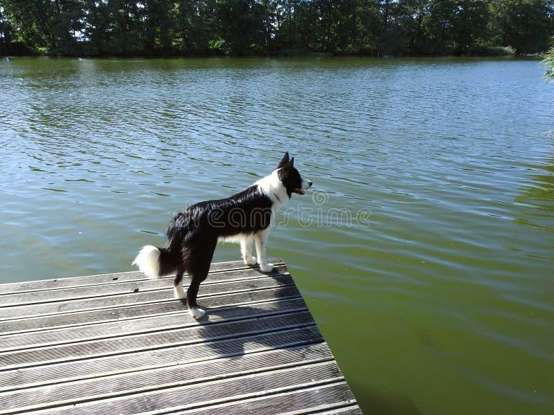 在码头的美丽的狗在河,立陶宛附近 库存照片