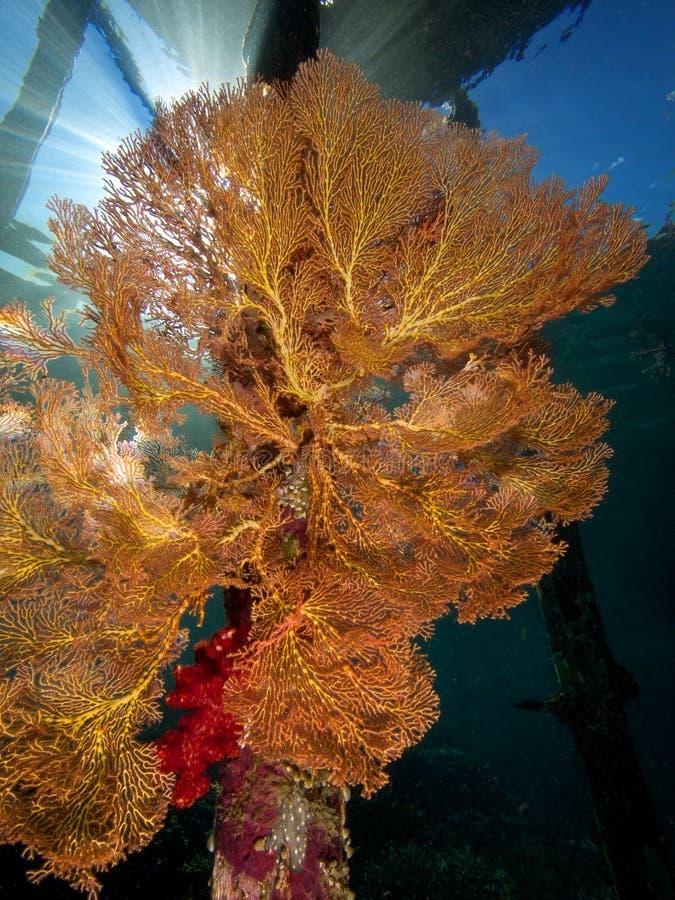在码头的腿的巨型海底扇 免版税图库摄影