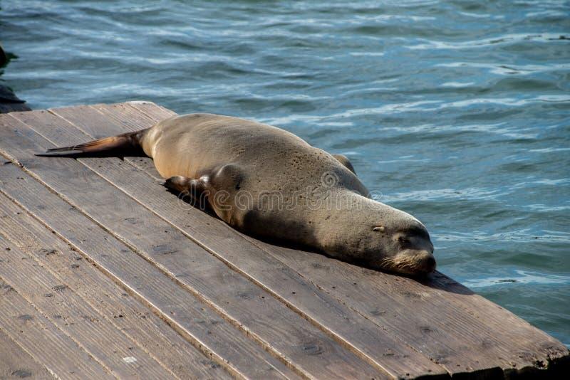 在码头39的海狮在旧金山,加利福尼亚,美国 免版税库存图片