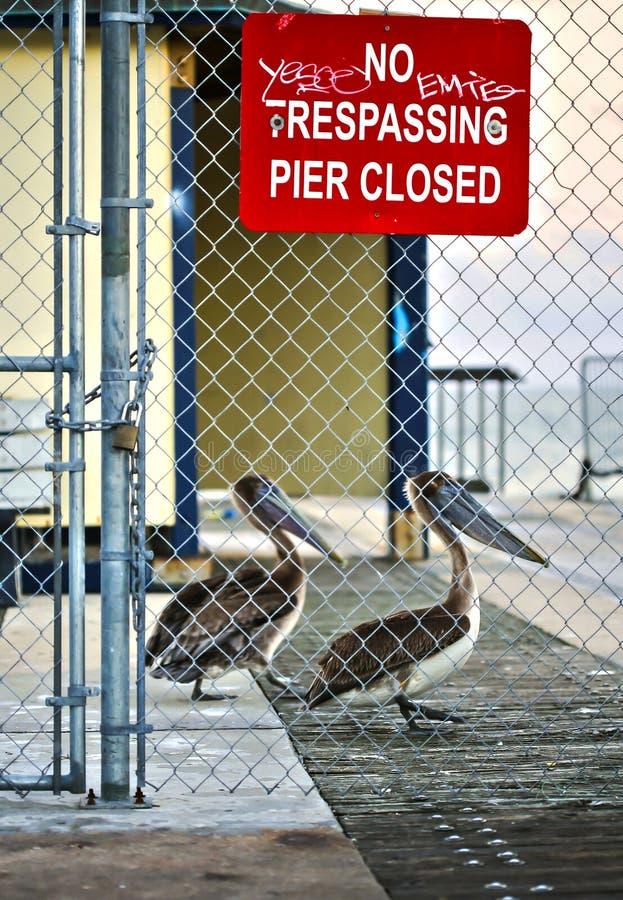 在码头的布朗鹈鹕 免版税库存图片