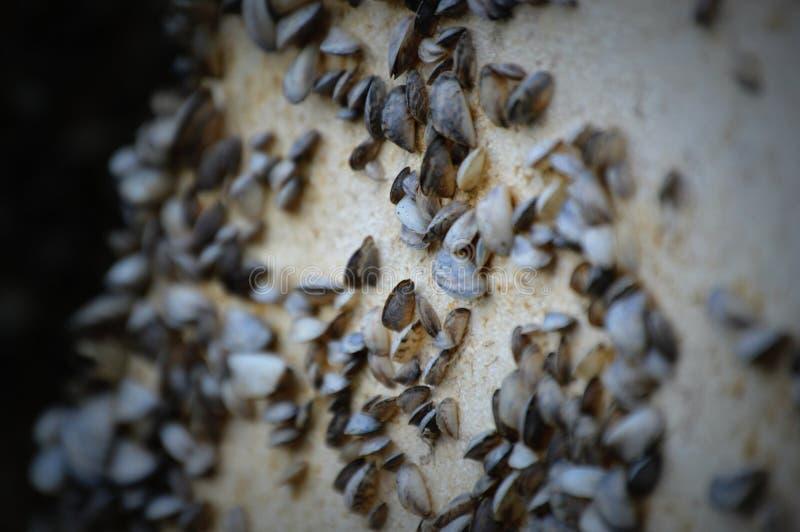 在码头的斑纹贻贝 免版税库存照片