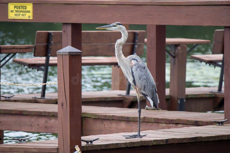 在码头的苍鹭鸟在水附近 图库摄影