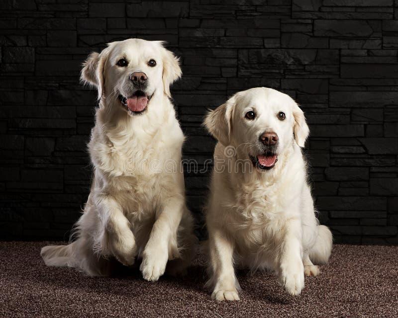 在砖bagground的二只金毛猎犬 免版税库存图片