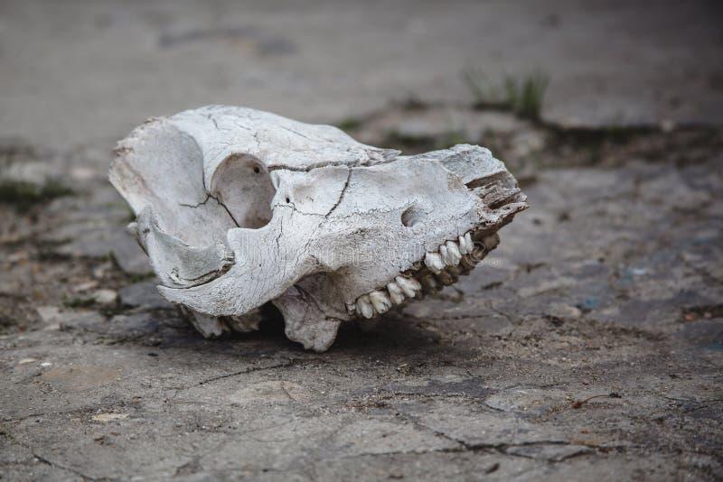 在破裂的石地面的母牛头骨 图库摄影