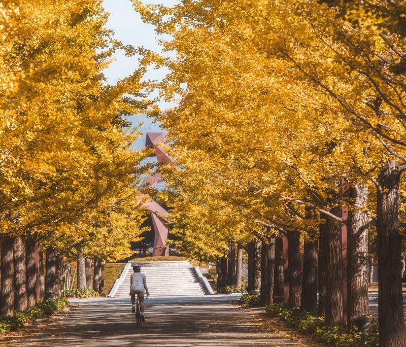 在磐梯阿祖马体育公园福岛的银杏树路 免版税库存图片