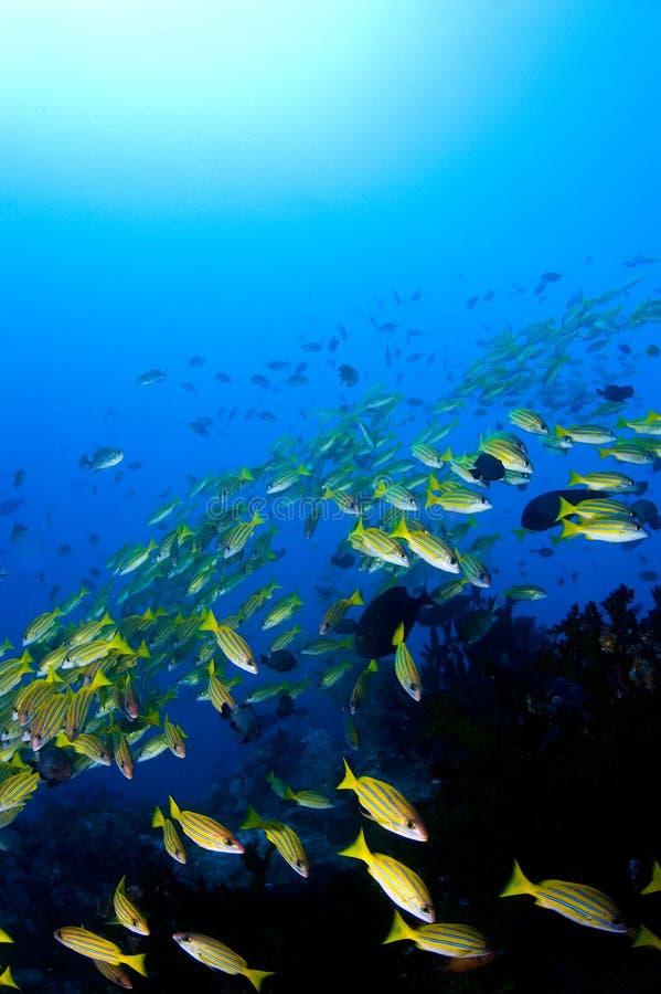 在礁石学校攫夺者黄色 免版税库存图片