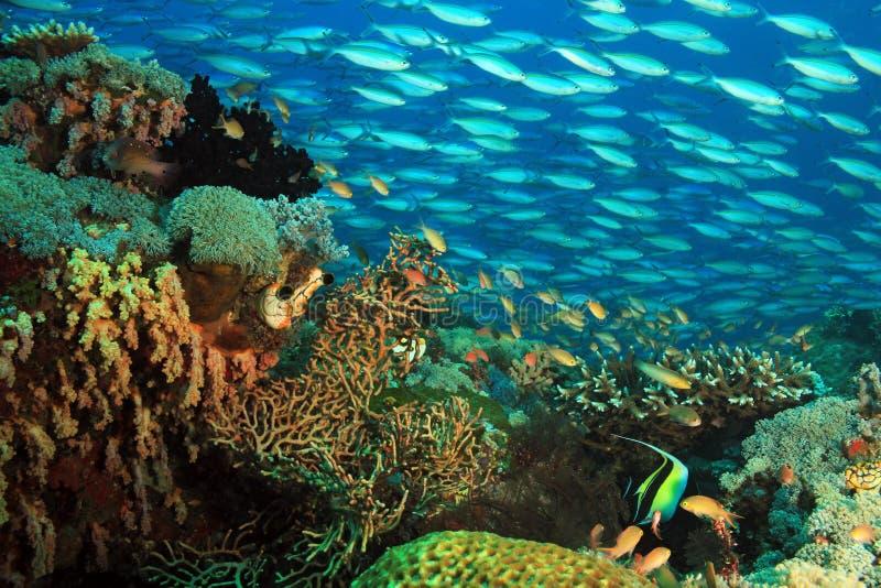 在礁石学校的珊瑚鱼 免版税库存照片