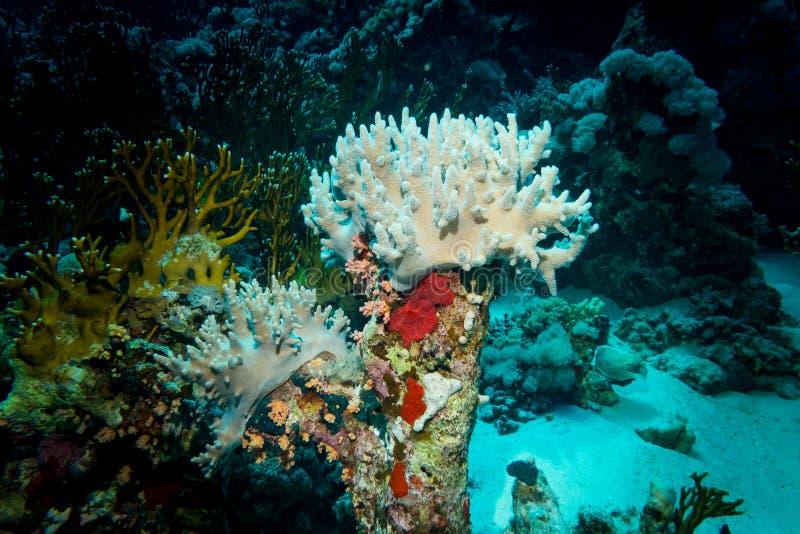 在礁石的美好的珊瑚 库存照片